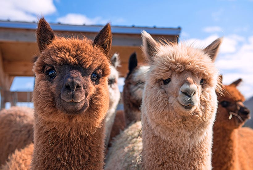 nanobodies alpacas CART